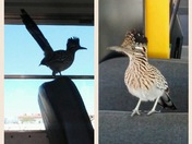 Friendly roadrunner