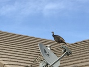 Turkey on the Roof