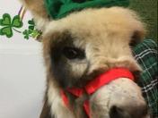 Lovey my wife's mini donkey
