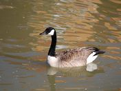 March Canadian goose