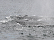 Finbacks in Bay of Fundy