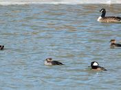 Merganser couples