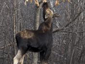 Mainland Moose2