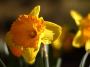 The definition of spring is blooming Daffodil