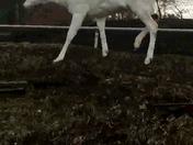 Albino Deer Video in MP4 format
