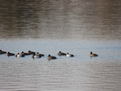 Migrating ducks photo by Janice Alcorn