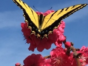 Spring Swallowtail-on weeping Peach Tree
