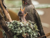 Female Anna's Hummingbird and Babies (1282)