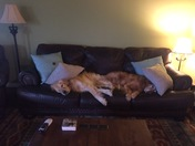 Our Golden's taking a nap together!!