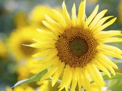 Manitoba Grown Sunflower