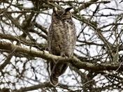 grey horn Owl