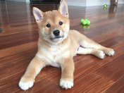 Kewi the Shiba for National Puppy Day