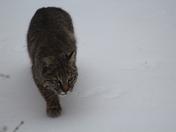 Beautiful Bobcat!