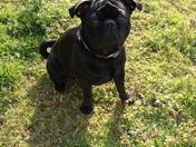 Otis the Pug