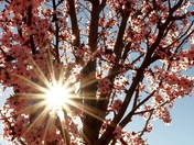 The sun and the plum tree