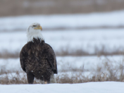 Bald Eagle in Snowy Fields