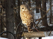 Large Owl in Backyard
