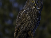 Great grey owl at dusk