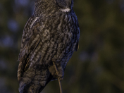 Great grey owl at dusk 2