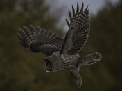 Great grey owl at dusk in flight