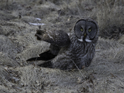 Great grey owl on ground