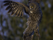 Great Grey Owl taking flight