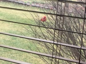 Cardinal out my kitchen window