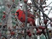 Cardinal in Crabapple Tree