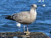 My favorite bird in Maine - Seagulls