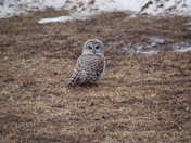 Barred Owl March 28th, 2017