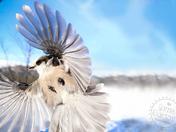 Grey Jay (Perisoreus canadensis)