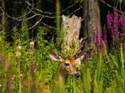 Deer In The Weeds