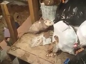 The possum life