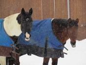 Horses dressed for snow in Moultonborough