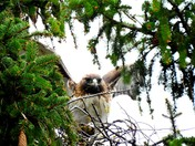 Hawk landing in my neighbors tree