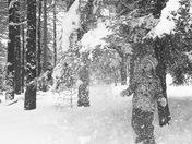Winter wonderland in the pines.