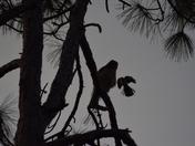 Hawk & Mock Silhouette