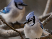 Blue Jay Couple