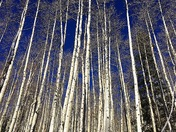 The Aspens in Mount Taylor