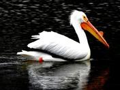 lake manawa Pelican