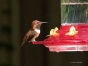 Rufous (male) Hummingbird
