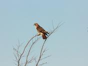 Red Taild Hawk