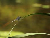 drigon fly