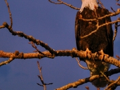 Golden Hour - Bald Eagle