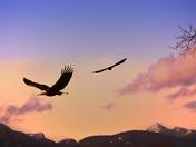 Eagles in Flight