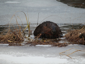 bever on ice