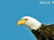 Bald Eagle face potrait