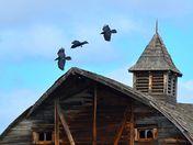 where ravens play