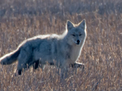 Coyote in spring field