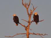 Eagle pair at sunrise